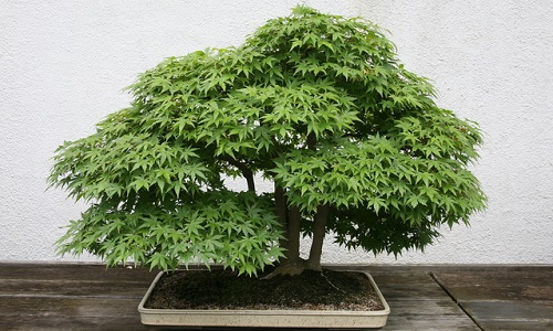 Weed Bonsai Botany And Cultivation Future4200